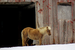 A blond haired horse in Farellton, Quebec (Ullysses) Tags: farrellton quebec canada horse cheval farm ferme winter hiver snow neige