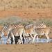 Plains Zebras (Equus quagga burchellii) at waterhole ...