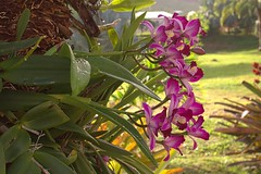 Orchids Growing on a Palm Tree (ronmcmanus1) Tags: caribbean antigua 5star flowers landscape nature outdoors sunsetsunrise historic