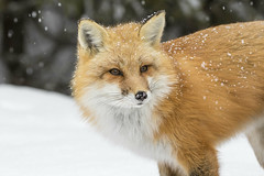 Red Fox (Michael Zahra) Tags: canada ontario algonquin north winter snow mammal canon 7d2 wildlife nature conservation park red fox fur cold