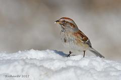 Bruant Hudsonien / American Tree Sparrow (Richard Vézina) Tags: oiseauxduquébec bird nikonafsnikkor300mmf4epfedvr nikond500