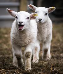 Look who's here (jayneboo) Tags: 365 lambs spring twins happy baa
