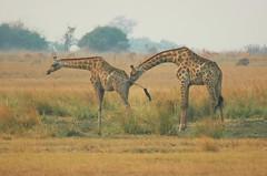 Getting a bit personal - Namibia (stevelamb007) Tags: 300mm two pair couple namibia giraffe stevelamb nikon d70s africanwildlife caprivistrip nikkor300mmf4