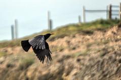 Round Wales Walk 59 - Chough (Nikki & Tom) Tags: gwenedd llyn roundwaleswalk uk wales walescoastpath walk coast bird chough