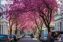 Breite Straße (ab-planepictures) Tags: kirschblüten frühling bonn deutschland germany cherry blossoms
