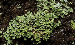 Interesting Moss or Liverowrt? (Bonnie Ott) Tags: patapscovalleystatepark daniels