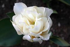 ...tra le pieghe del cuore.... (alesolofoto) Tags: tulipani tulips fiori flowers villataranto verbania piemonte italia