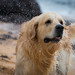 Sirius (glank27) Tags: dog golden retriever sirius water play animals wildlife canon eos 70d ef70300mm f456l k9 canine