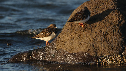 Turnstone at Greenock, Scotland.