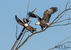 """Get Off of My Branch!"" (BirdFancier01) Tags: nature bird raptor birdofprey eagle leclaire iowa mississippiriver"