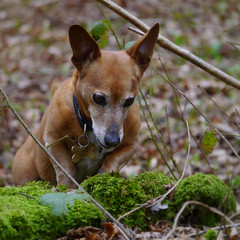 9/52 Being a Terrier (jump for joy2010) Tags: uk england somerset mendiphills kingswood winscombe dogs terrier jackrusselldachshund small brown chum charlie clambering exploring woodland mossy 52weeksfordogs week9 february 2017 explored