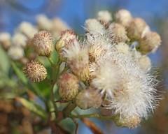 D174732A (RobHelfman) Tags: losangeles flowers kennethhahnstaterecreationarea