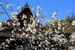 Spring at shrine (Teruhide Tomori) Tags: flower spring kyoto japon japan shrine plum ume tree kitanotenmangushrine 京都 春 梅 花 日本 北野天満宮