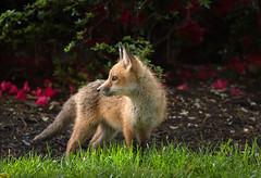 Fox Friday Throwback (rishaisomphotography) Tags: fox redfox kit babyanimal fuzzy furry orange outdoors vulpesvulpes favorite nature naturephotographer azaleas wildlife wildlifephotography mammal carnivore cute adorable