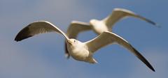 IMG_1436 Gulls (cmsheehyjr) Tags: cmsheehy colemansheehy nature wildlife bird gull rappahannock virginia seagull