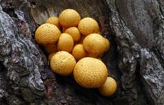 Gymnopilus junonius. (Bernard Spragg) Tags: gymnopilus nature fungus fungi mushrooms lumixfz1000 flickrlover freephotos