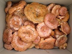 IMG_0295 (natalie.jing.ma) Tags: australia newsouthwales stateforest foraging mushroom lactariusdeliciosus pinemushroom saffronmilkcap