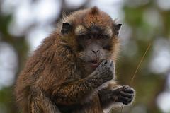 monkey portrait Philippines _6381 (ichauvel) Tags: singe monkey animal fane fauna manger eating portrait portraiture closeup expression attitude exterieur outside philippines iledeluzon asie asia southeastasia asiedusudest voyage travel jour day january janvier getty