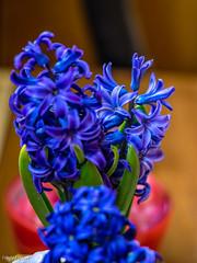 Blau,grün und rot (fredy_egdorf) Tags: 2017 blumen blüten bokeh hyazinthe luminar makro offenblende pscc2017 zuhause