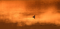 Grebe at Sunrise (Stan in FL) Tags: piedbilled grebe podilymbus podiceps nikon d500 sumter county fl florida sunrise nature natur birds birding