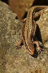 "Common Lizard ""Explored"" (Derbyshire Harrier) Tags: commonlizard britishnativereptile 2017 drystonewall peakdistrict peakpark march basking derbyshire easternmoors rspb nationaltrust spring explore explored"