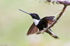 Collared Inca (Coeligena torquata) (Frank Shufelt) Tags: collaredinca coeligenatorquata trochilidae hummingbirds aves birds wildlife mountains forest andes humid rioblanco manzales caldas colombia southamerica february2017 6088