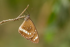 Common Crow (Euploea core) (Ian Colley Photography) Tags: butterfly 500mm commoncrow euploeacore townsville queensland