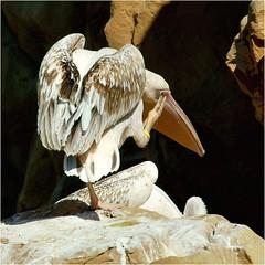 pelican........... (atsjebosma) Tags: bird vogel oceanografic pose valencia spain atsjebosma march maart pelican