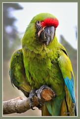 Großer Soldatenara / Ara ambiguus (Martin Volpert) Tags: araambiguus papageien grosersoldatenara mavo43 psittaciformes psittacidae arini neuweltpapageien vogel vogelparkuckersdorf