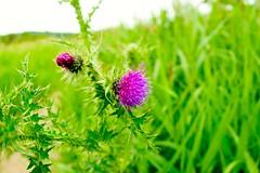 Flower between thorns (Rovers number 9) Tags: june spring sony lancashire a77 2014 rspbleightonmoss sonya77 june2014
