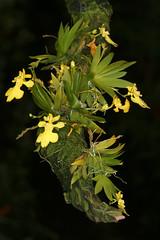 Erycina pusilla (syn. Oncidium) (Pterodactylus69) Tags: orchid flower fleur flor orquidea orchidee blte herrenhusergrten herrenhausen berggarten herrenhausengardens