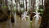 String Lily (Crinum americanum) (Don Filipiak) Tags: whiteflower evergladesnationalpark naturephotography cypressdome crinumamericanum nikonwideangle nikond7000 nikon1024mm rainforestdon wideanglenaturephotography stringlilly