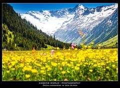 Frühlingswiese in den Alpen