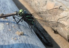 Peace pipe (Shane Sadoway) Tags: wood blue black green beach insect wings log dragonfly bugs explore webbed