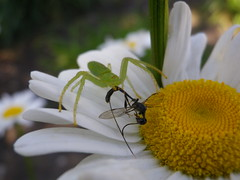 Small Creatures in the Garden #173 (tt64jp) Tags: flower nature japan bug insect japanese spider   marguerite  predator  insekt   crabspider insetto insecte gunma ambush  insecto kiryu             oxytatestriatipes gasteruptiidae      gasteruptionjaponicum
