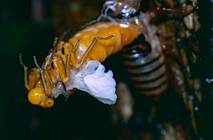 Black and Golden Cicada (Huechys fusca) emerging at night from nymph exoskeleton (berniedup) Tags: huechysfusca taxonomy:binomial=huechysfusca
