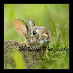 baby rabbit (wildlifephotonj) Tags: rabbit rabbits naturephotography babybunny wildlifephotography wildlifephotographynewjersey naturephotographynj