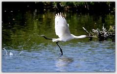 Learning to fly / Leren vliegen. Spoonbill / Lepelaar / Platalea leucorodia (Eric Tilman) Tags: fly learning spoonbill vliegen leren lepelaar platalea leucorodia