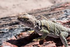 Mark 325a (markbyzewski) Tags: arizona ugly petrifiedforestnationalpark collaredlizard