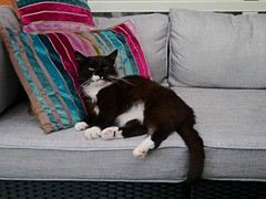 Tussi takes a rest... (vanstaffs) Tags: t tuxedocat tux tussi tuzz tuxedogirl myprettytuxedogirl tuzz®