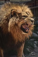 El rey (Bartolom Garca Cayuela) Tags: fauna leon felino aguilas salvaje guilas bartolomegarciacayuela bartolomgarcacayuela
