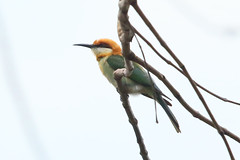Chestnut-headed Bee-eater (Calidris!) Tags: bhutan chestnutheadedbeeeater meropsleschenaulti