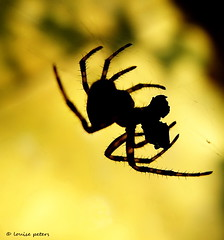 supper time (louise peters (busy buying a new home)) Tags: sunset macro dinner spider zonsondergang spin diner meal prey supper makro silhouet tegenlicht souper prooi maaltijd
