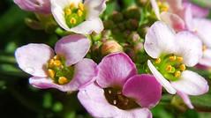 Sweet Alyssum (possumgirl2) Tags: flowers plants gardenflowers sweetalyssum