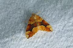 Barred Yellow (Cidaria fulvata), Coryates, Dorset, UK (Terathopius) Tags: uk greatbritain unitedkingdom lepidoptera dorset gb geometridae larentiinae barredyellow cidariafulvata