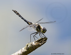 Male Black Darter (Crazybittern1) Tags: dragonflies insects blackdarter sigma70300mmmacro foulshawmoss cumbriawildlifetrust nikond70000