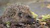 Hedgehog (KHR Images) Tags: wild nature garden mammal nikon wildlife northumberland hedgehog nationalgeographic lesbury erinaceinae d7100 1855zoom kevinrobson khrimages