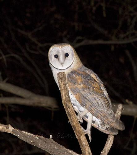 Western Barn Owl near portrait _3015