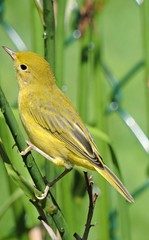 Paruline jaune - Yellow-Warbler. ........3 Juillet 2014...DSCN09561 (Diane.D.G.) Tags: birds oiseaux yellowwarbler coth almostthere specanimal parulinejaune avianexcellence damniwishidtakenthat damnfinepicture bestofdamn coth5 sunrays5