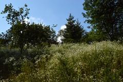 2014_Mecsek_0231 (emzepe) Tags: flower fleurs hungary blumen hillside ungarn virg 2014 mecsek hongrie nyr tbor nyri baranya jlius kisjbnya katolikus hegyoldal vadvirg csaldos egyhzkzssgi egyhzkzsgi